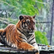 Sumatran tigress in pouring rain, green back ground — Stock Photo