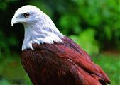 Elang jawa, an java eagle — Stock Photo