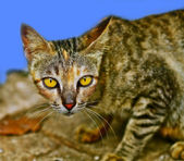 Cat with yellow sharp eye - blue back ground — Stock Photo
