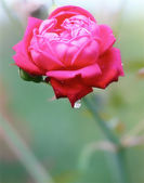 Red Rose and morning dew — Stock Photo