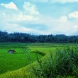 Two color of rice field and the forest - Stock Photo