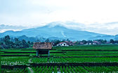Rice field and mountain back ground — Stock Photo