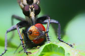 Robberfly and the prey, eating fly, green back ground — Stock Photo