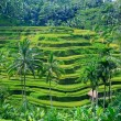 Stock Photo: Rice field terrace at ubud bali