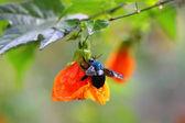 Orange flower and blue bee — Stock Photo