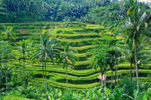 Rice field terrace at ubud bali — Stock Photo