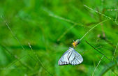 Small white butterfly — Stock Photo