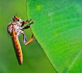 Robber fly at the edge of green leaf in the bush — Stock Photo