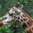 Close up of giraffe head, isolated on green background — Stock Photo