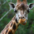 Close up of giraffe head, isolated on green background — Stock Photo #22365447