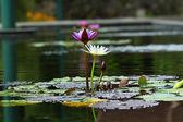 Ninfee nello stagno — Foto Stock