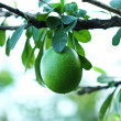 Green fruit on the branch tree — Stock Photo