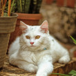 Stock Photo: White cat