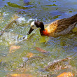 Stock Photo: Duck in the pond