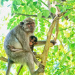 Bali monkeys — Stock Photo