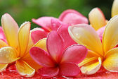 Bali flower — Stock Photo