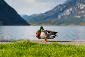 Ducks at Hallstatt — Stock Photo
