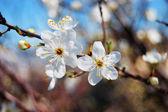 Cherry plum flowering — Stock Photo