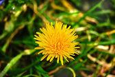 Tarassaco primavera — Foto Stock