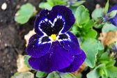 Viola a flower — Stock Photo