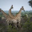 Giraffes — Stock Photo #17978487