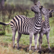 Two Zebras in a Touching Pose — Stock Photo