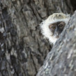 Vervet monkey - Stock Photo