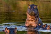 Hipopótamo surpreso — Foto Stock