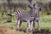 Dokunaklı bir poz iki zebras — Stok fotoğraf