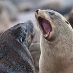 Cape fur seals having an argument, Skeleton Coast, Namibia, Africa — Stock Photo #18037749
