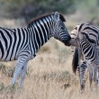 Stock Photo: Zebras family, Namibia