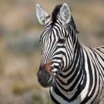 Zebra, safari, Namíbia — Foto Stock