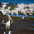Pelicans, Namibia — Stock Photo #18037701