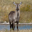 Stockfoto: Proud Waterbuck in grass, Namibia