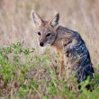 Stock Photo: Africblack backed jackal, in its natural evironment, Namibia
