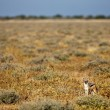 African black backed jackal, in its natural evironment, Namibia — Stock Photo