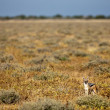 African black backed jackal, in its natural evironment, Namibia - Stock Photo