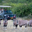 Gemsbok antelopes, safari, Namibia — Stockfoto