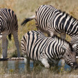 Stock Photo: Zebras, Namibia