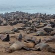 Seals having a rest on the beach, Namibia - 图库照片