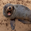 Stockfoto: Cute little seal, Namibia, Africa