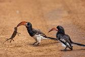 Monteiros Hornbills (Tockus monteiri) Namibia — Stock Photo
