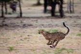 Cheetah, Namibia — Stockfoto
