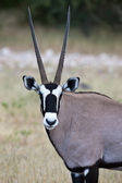 Gemsbok antilop — Stockfoto