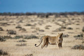 Lion, Namibia — Stock Photo