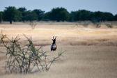Oryx gemsbok antilop, etkin, namibya — Stok fotoğraf