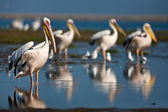 Pelicans, Namibia — Stock Photo