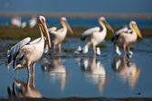 Pelikáni, namibie — Stock fotografie