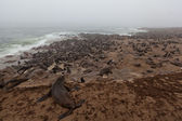 Seal colony at the Atlantic ocean in Namibia, Africa — Stok fotoğraf