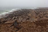 Selo colônia no oceano atlântico, na namíbia, áfrica — Foto Stock